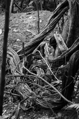 37448753-varios-vides-de-la-selva-tropical-interconectados-crean-un-tipo-ladderof